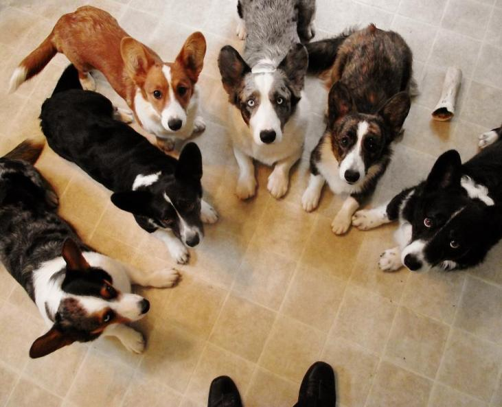 rainbow-of-corgis1